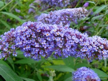 Buddleja davidii 'Dart's Papillon Blue'