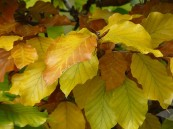 Fagus-sylvatica-www.tuinplantenwinkel.nl_tn2
