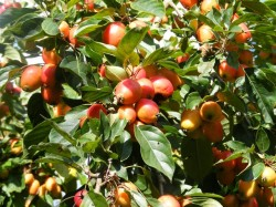 Malus-John-Downie-www.crown-nursery.co.uk_tn2