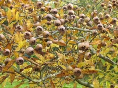 Mespilus germanica - voedselboskralingen.wordpress.com_tn2