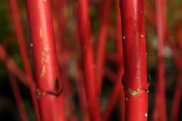 Cornus alba sybirica