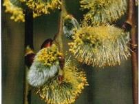 Salix-caprea-Pendula-blossom